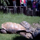 Giant Turtles